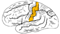 Gray726 postcentral gyrus.png
