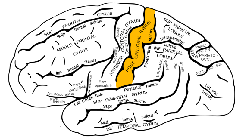 ILLUSTRATION : Gyrus postcentral (Source : Wikimedia)