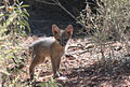 Gray Fox Kits (7463381080).jpg