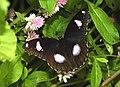 Great Eggfly Hypolimnas bolina male UP by Dr. Raju Kasambe DSCN8510 (13).jpg