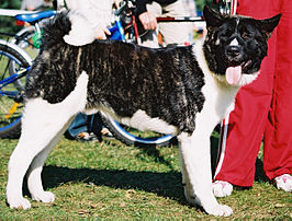 Great japanese dog00.jpg