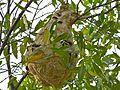 Greater Banded Hornets Nest (Vespa tropica) (8223186887).jpg