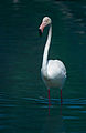 Greater Flamingo (Phoenicopterus roseus) (14944382785).jpg