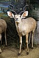 Greater Kudu diorama taxidermy, Powell-Cotton Museum, Birchington Kent England.jpg