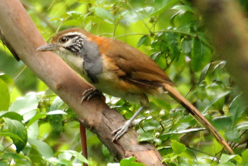 File:Greater Necklaced Laughingthrush.jpg