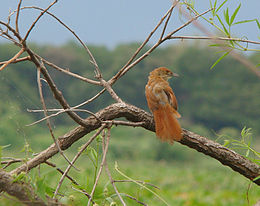 Greater thornbird Phacellodomus ruber