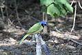 Green Jay (Cyanocorax luxosus) (12260167453).jpg