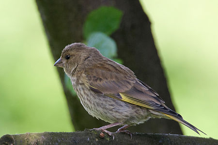 Greenfinch Lodz(Poland)(js)05.jpg