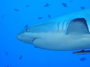 Gill slit - Gill slits on a grey reef shark