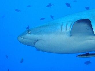 Gill slit - Gill slits on a grey reef shark