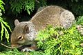 Grey squirrel 4.jpg