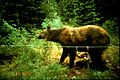 Grizzly hair snare (Northern Divide Grizzly Bear Project) (4428177124).jpg