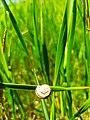 Grove snail 01.jpg