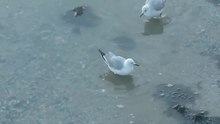 File:Gulls foot paddling.webm