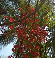 Gulmohar- may flower.jpg