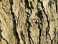 Gymnocladus dioicus (9).JPG