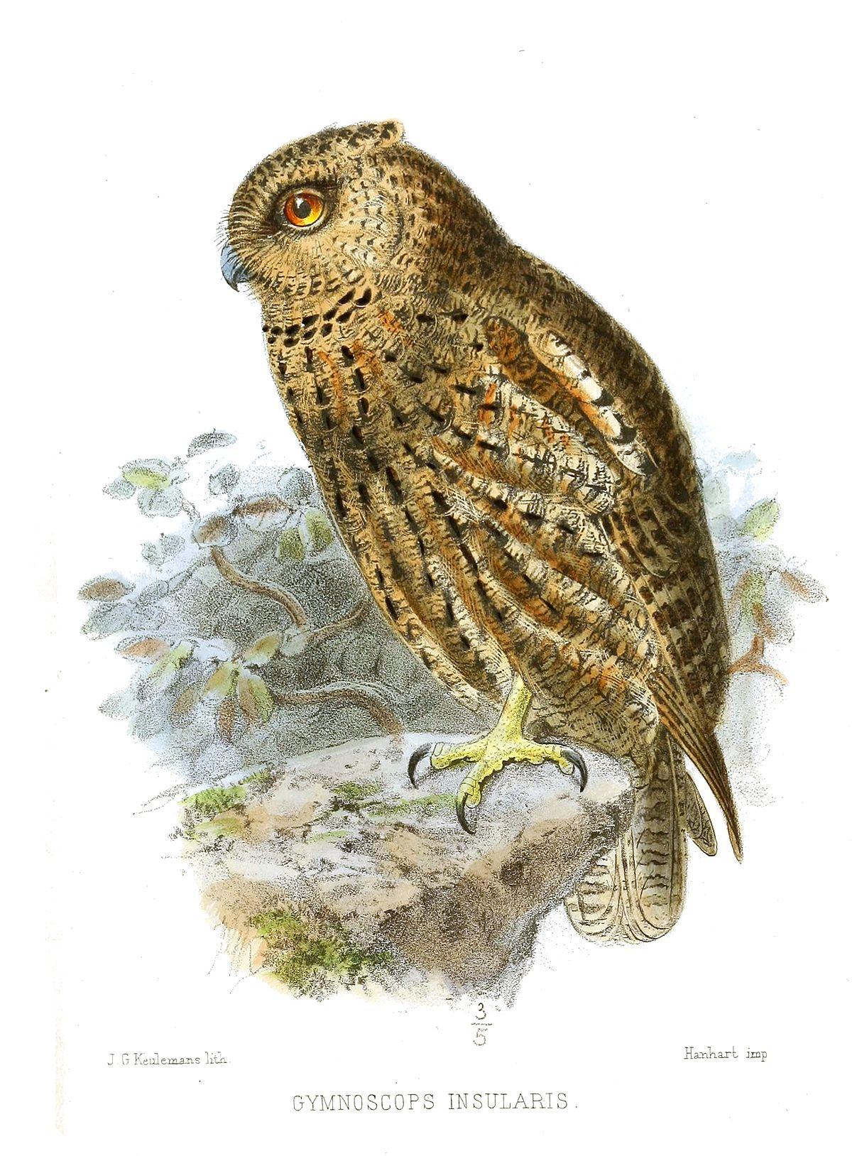 seychelles scops owl wikipedia