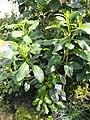 Gynura sechellensis - Botanischer Garten München-Nymphenburg - DSC07948.JPG