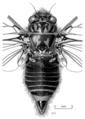 HEMI Cicadidae Maoricicada cassiope m.png