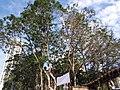 HK CWB 銅鑼灣 Causeway Bay 維多利亞公園 Victoria Park trees February 2019 SSG 03.jpg