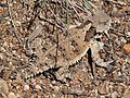 HORNED LIZARD, COAST (Phrynosoma coronatum) (6-19-10) cuesta ridge, slo co, ca -01 (4715151171).jpg