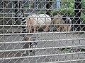 Hachimanyama Pigs and Ring-Tailed Lemur.jpg