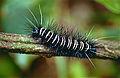 Hairy Caterpillar (Id ?) (10478846253).jpg