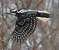 Hairy woodpecker m To ON flight.jpg