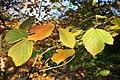Hamamelis molis JPG1Fub.jpg