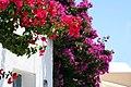 Hanging gardens of Santorini (2601222576).jpg