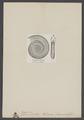 Harpoceras - Print - Iconographia Zoologica - Special Collections University of Amsterdam - UBAINV0274 005 10 0017.tif