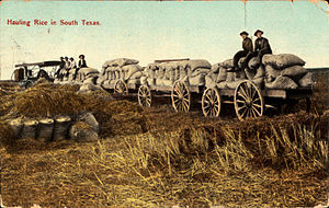 Webster, Texas - Hauling rice in South Texas (postcard, circa 1909)