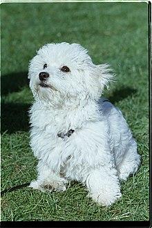 Companion dog - Wikipedia