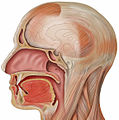 Head lateral sagittal mouth.jpg