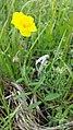 Helianthemum nummularium subsp. obscurum sl3.jpg