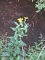 Helianthus tuberosus L. (AM AK295329-4).jpg