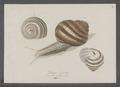 Helix pomatia - - Print - Iconographia Zoologica - Special Collections University of Amsterdam - UBAINV0274 089 01 0011.tif