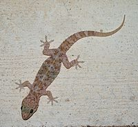 Hemidactylus turcicus on a wall in Greece.jpg