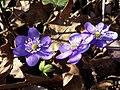 Hepatica nobilis sl1.jpg