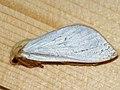 Hepialus humuli ♂ - Ghost moth (male) - Тонкопряд хмелёвый (самец) (40100841955).jpg