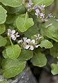 Hesperidanthus jaegeri.jpg