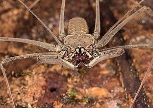 Amblypygi - Heterophrynus, Ecuador