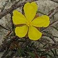 Hibbertia acicularis.jpg