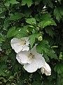 Hibiscus syriacus 'Diana' Ketmia syryjska 2009-07-20 01.jpg