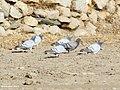 Hill Pigeon (Columba rupestris) & Rock Pigeon (Columba livia) (31638081687).jpg