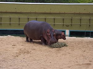 Granby Zoo - Image: Hippos zoo granby 2006 07