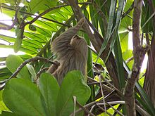 Hoffman's two-toed sloth 2.jpeg
