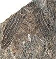 Holcoptera giebeli NHMUK PI II.3101 b partial specimen.jpg