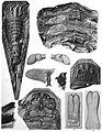 Holm Eurypterus Fischeri plate 10.jpg