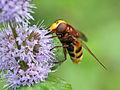 Hornet mimic hoverfly (Volucella zonaria), Parc De Woluwé, Brussels (14623513819).jpg